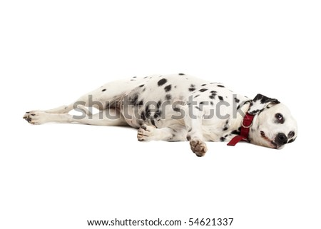 Dalmatian puppy in front of a white background , taking a nap - stock photo
