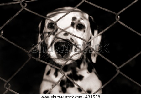 Dalmatian puppy looking through the fence. - stock photo
