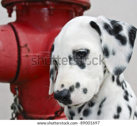 Dalmatian puppy next to a red fire hydrant. - stock photo