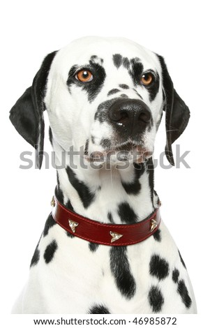 Dalmatian puppy portrait in red collar. Isolated white background - stock photo