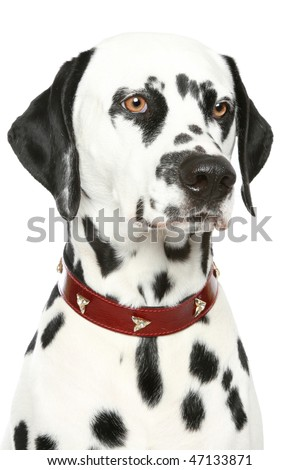 Dalmatian puppy portrait in red collar. Isolated white background