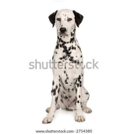 Dalmatian sitting in front of white background - stock photo