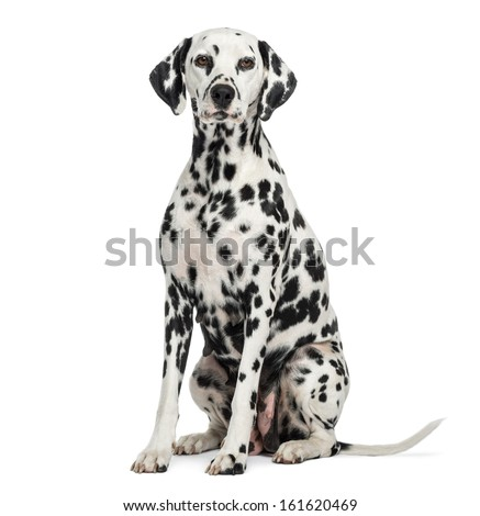 Dalmatian sitting, looking at the camera, isolated on white - stock photo
