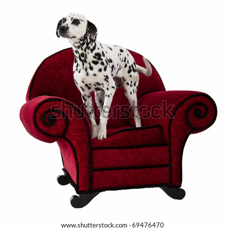 Dalmatian Standing on Red Chair - stock photo