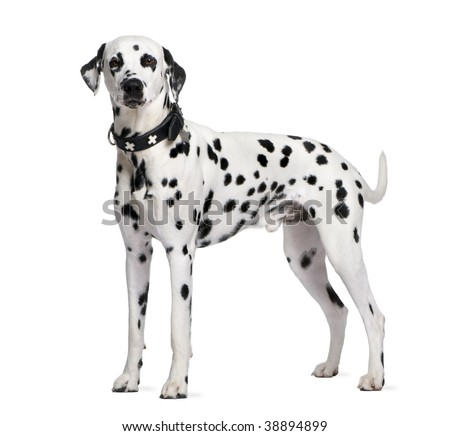 Dalmatian, 2 years old, standing in front of white background, studio shot - stock photo