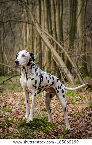 Dalmation  - stock photo