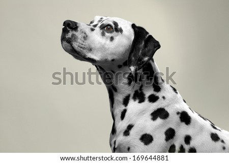 dalmation dog portrait in studio. - stock photo