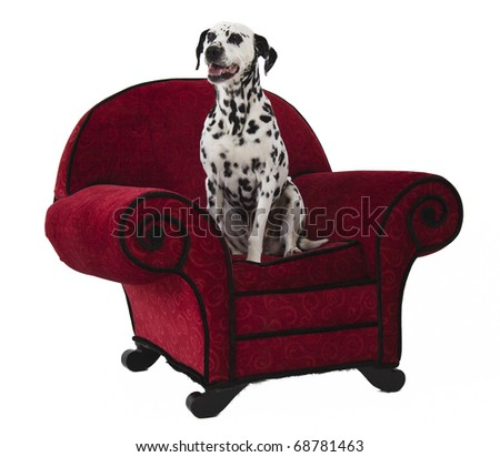 Dalmation Standing on Red Chair - stock photo