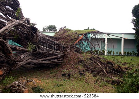 Damage by hurricane Katrina: A ficus tree fell because of high wind, Thursday, Aug. 25, 2005, in Miami Florida. - stock photo