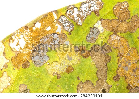 Damage Leaf with holes, eaten by pests isolated on white background - stock photo