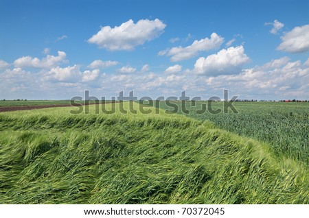 Damaged wheat field in spring with beautiful sky and clouds after storm - stock photo