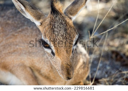 Damara dik-dik in Etosha National Park, Namibia - stock photo
