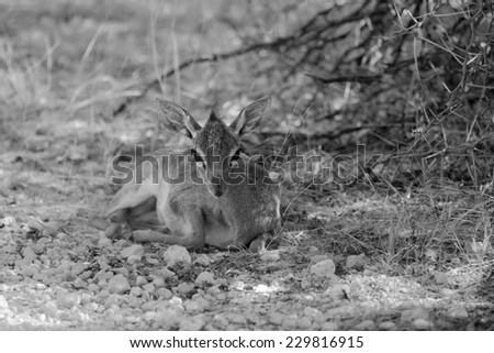 Damara dik-dik in Etosha National Park, Namibia - stock photo