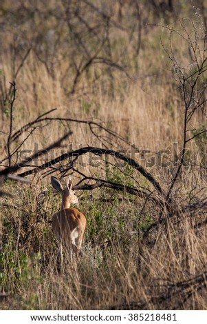 Damara Dik-Dik in Savannah in Etosha National Park, Namibia - stock photo