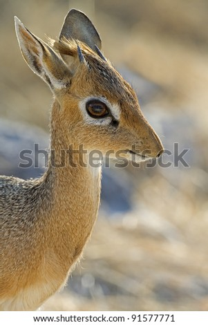 Damara Dik- Dik portrait; Madoque kirkii; Namibia - stock photo