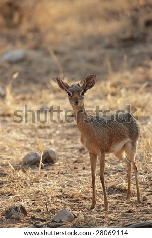 Damara Dikdik (Madoqua damarensis), one of the smallest antelopes of the world. Picture taken in the Etosha National Park, Namibia. - stock photo