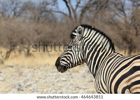 Damara Zebra in Etosha National Park