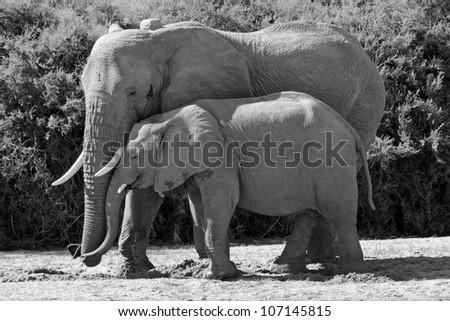 Damaraland, Namibia, Africa - October 4, 2011: A mother elephant snuggles with her baby in the wild desert landscape of Damaraland, Namibia, Africa.