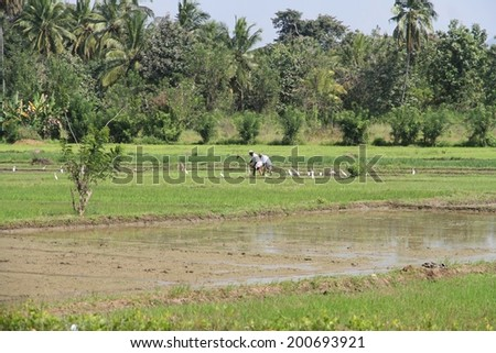 DAMBULLA, SRI LANKA - FEBRUARY 14: Local Sri Lankan laborers working in a rice field with egrets surrounding them near Dambulla, Sri Lanka on the 14th February, 2014.