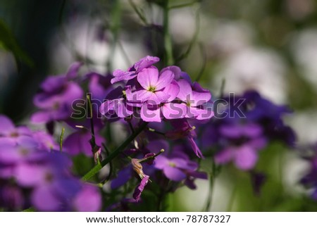 Dame's Rocket Flower Hesperis matronalis - stock photo