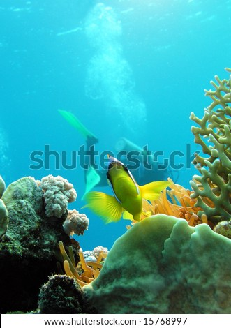 Damsel fish and diver in Red sea - stock photo