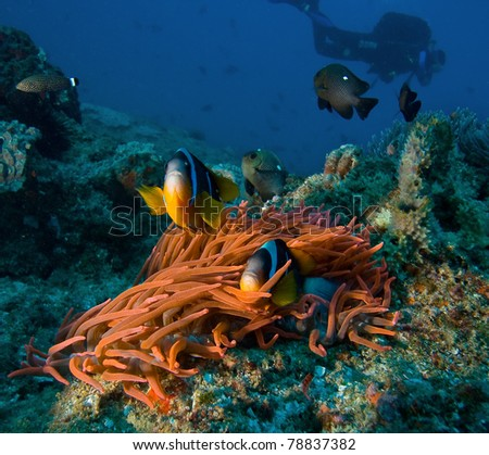 Damsel fishes  and anemone - stock photo