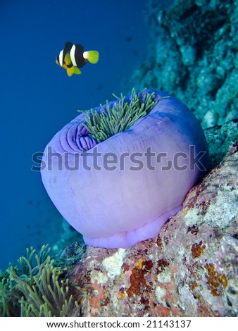 Damselfish and anemone - stock photo