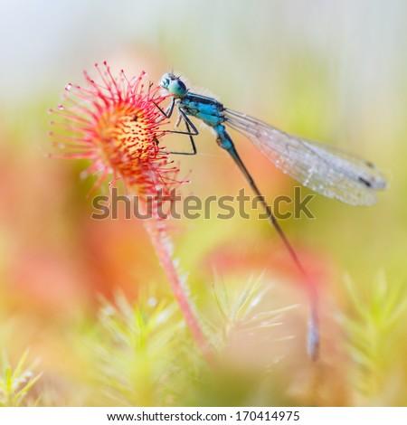damselfly caught by sundew - stock photo