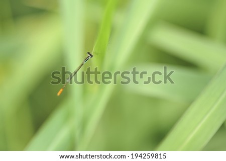 Damselfly in green background