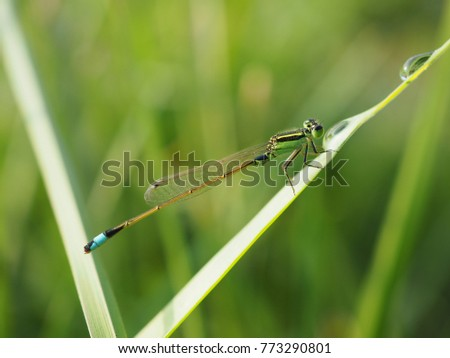 Damselfly or Zygoptera on green leaves, blurred background