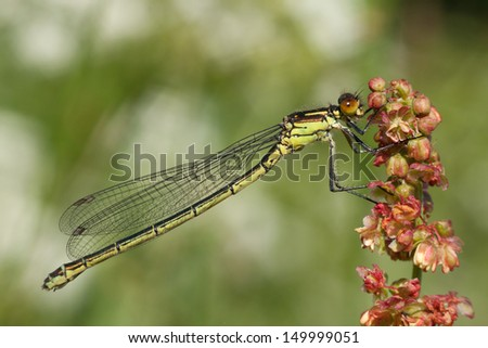 Damselfly resting on a flower