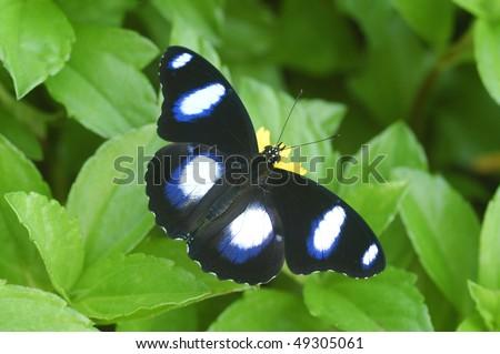 Danaid Eggfly Butterfly at Kota Kinabalu, Borneo - stock photo