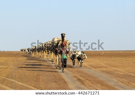 Danakil desert Ethiopia - 19 Nov. 2015 - Caravan of salt. Camel and donkey carry salt even now.