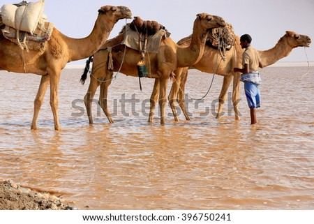 DANAKIL, ETHIOPIA-MARCH 28: Afar herder leads a caravan of dromedaries and donkeys from Hamed Ale hamlet to Lake Assale to load salt blocks and transport them to market-Berahile town on March 28, 2013