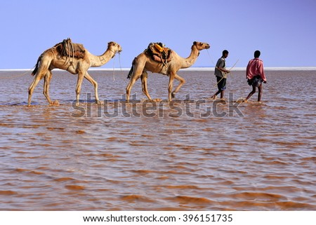 DANAKIL, ETHIOPIA-MARCH 28: Afar herders lead a caravan of dromedaries and donkeys from Hamed Ale hamlet to Lake Assale to load salt blocks and transport them to market-Berahile town on March 28, 2013