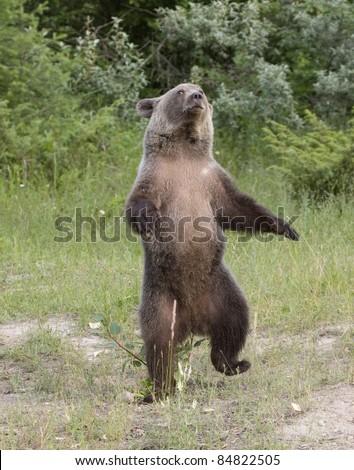 Dancing Bear - stock photo