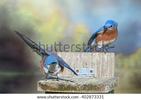 Dancing Bluebirds Against Blue Sky and Foliage - stock photo