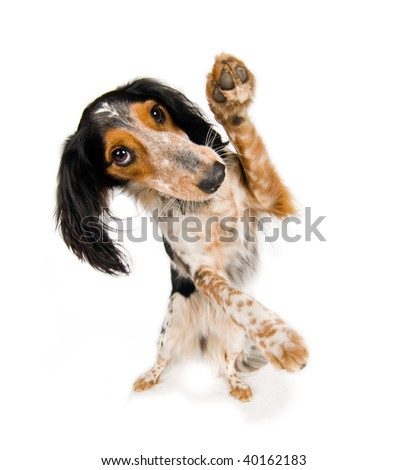 Dancing dog! - stock photo