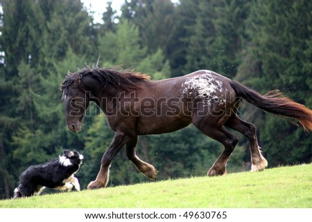 dancing horse and dog, young stallion and border collie in the pature - stock photo