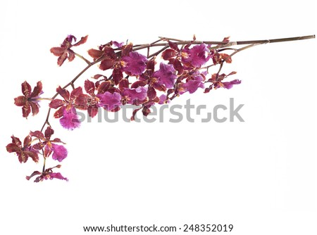 dancing lady orchid - stock photo