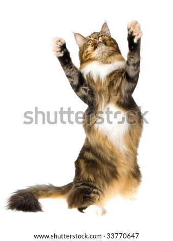 Dancing Maine Coon brown tabby, on white background - stock photo