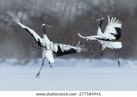 Dancing pair of Red-crowned crane with open wing in flight, with snow storm, Hokkaido, Japan - stock photo