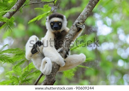 Dancing Sifaka (Lemur) in a Tree - stock photo