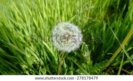 dandelion 1 - stock photo