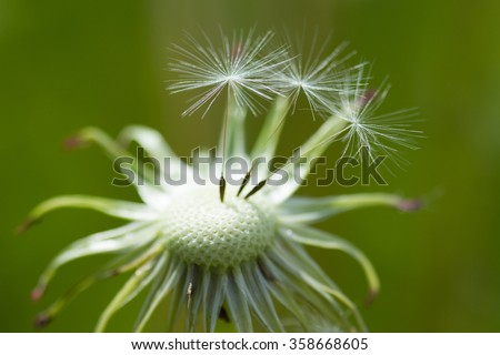dandelion - stock photo