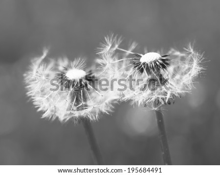 Dandelion abstract closeup in summer environment - stock photo