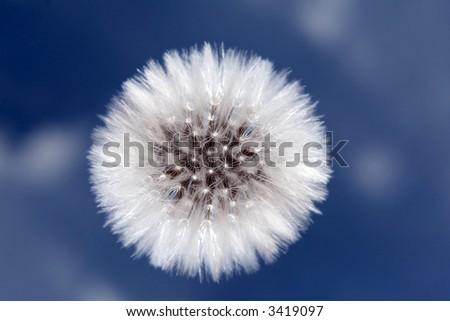 dandelion against a blue sky - stock photo