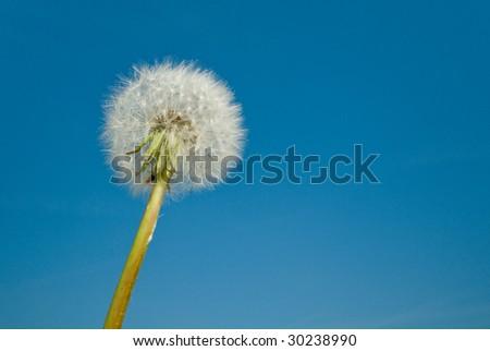 Dandelion against a clear blue sky - stock photo