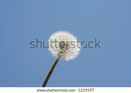 Dandelion against blue sky - stock photo