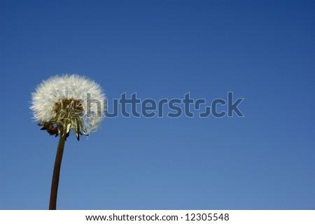 Dandelion against clear blue sky - stock photo
